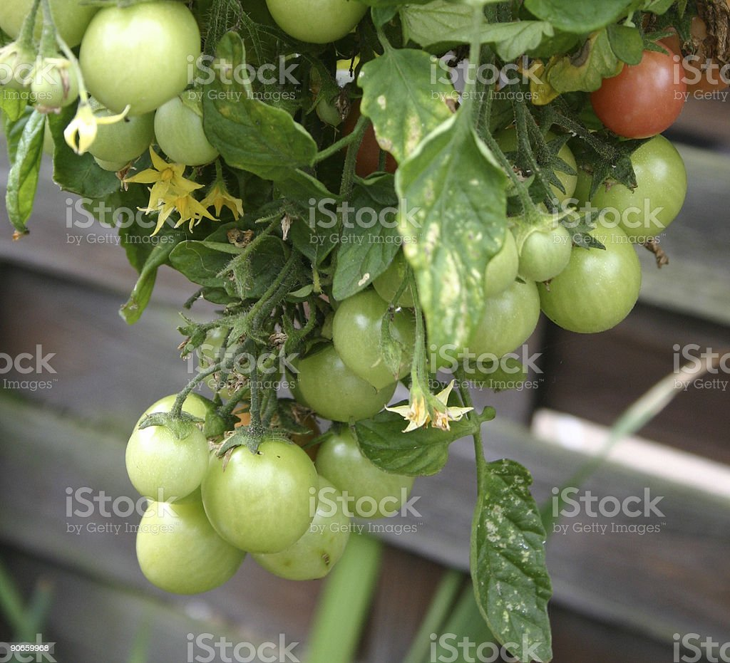 tomatoes growing royalty-free stock photo