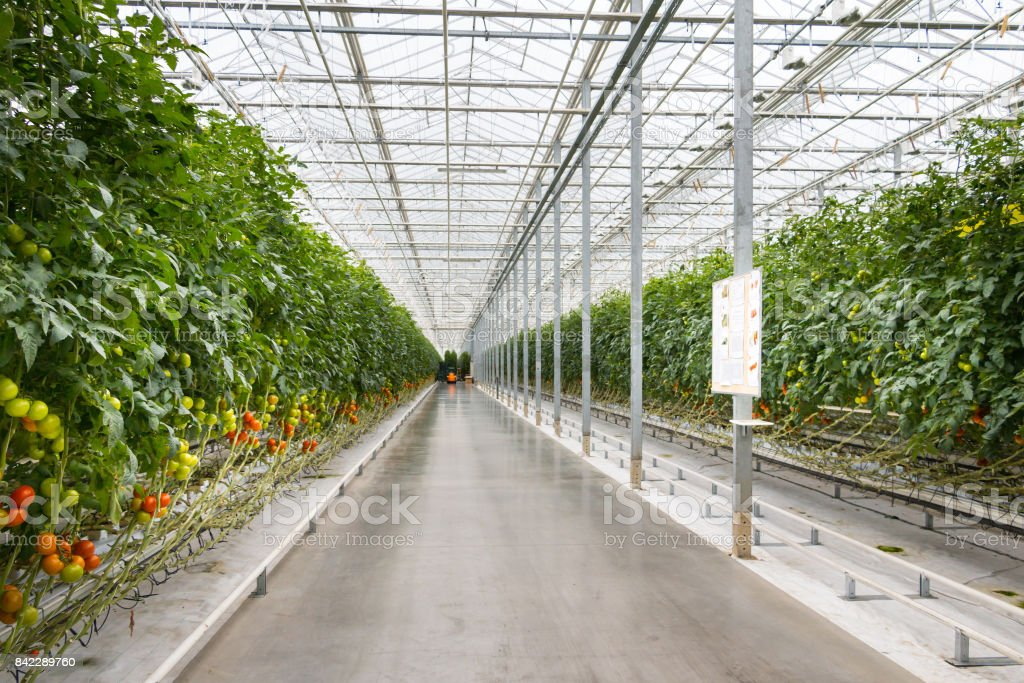 Tomatoes growjing in greenhouse. stock photo