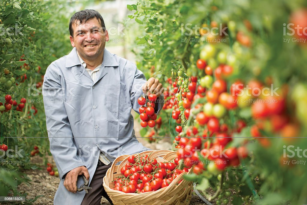 tomatoes harvest in greenhouse stock photo
