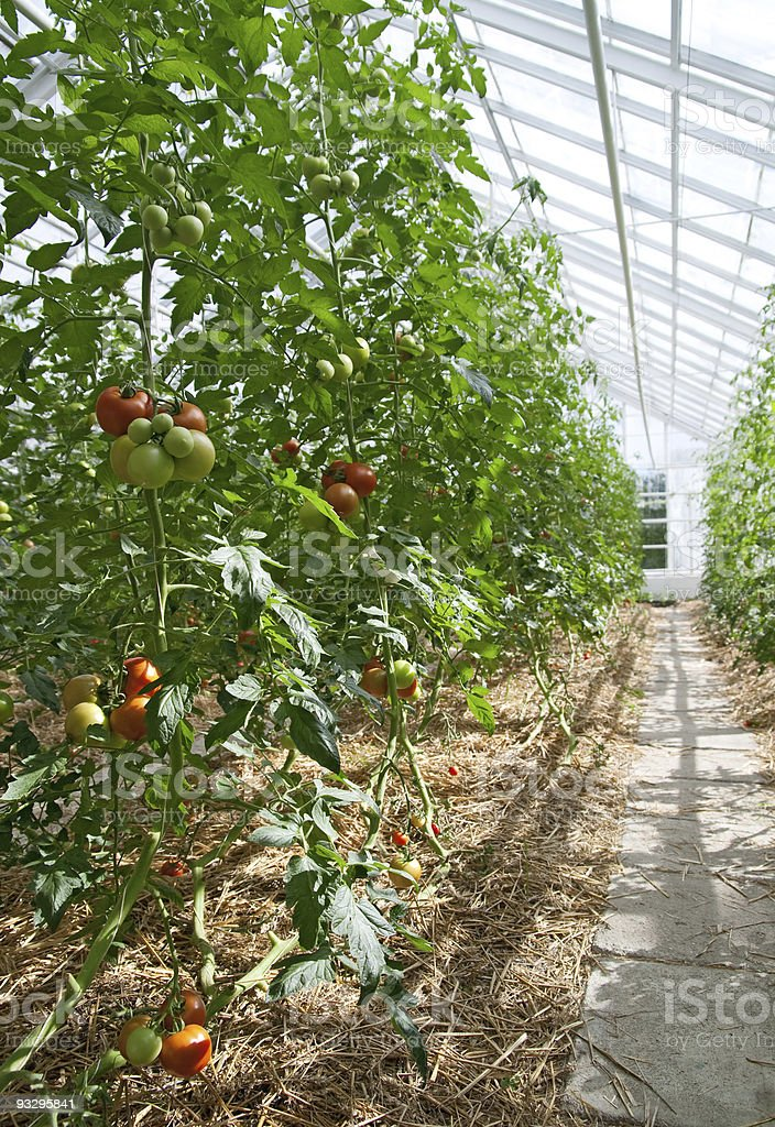 Tomatoes in a sunny greenhouse royalty-free stock photo