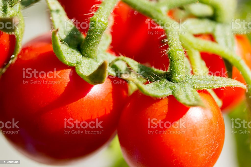 tomatoes in garden stock photo