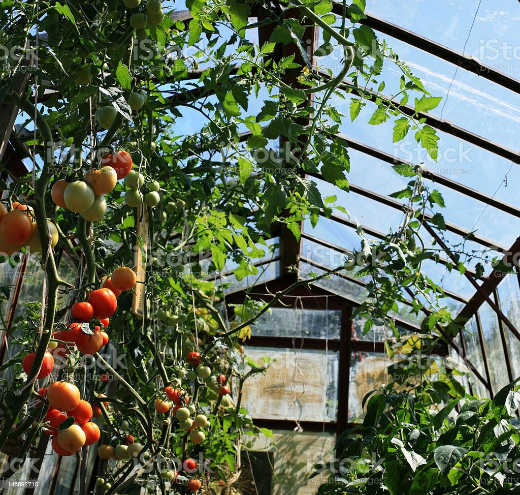 tomatoes in greenhouses royalty-free stock photo