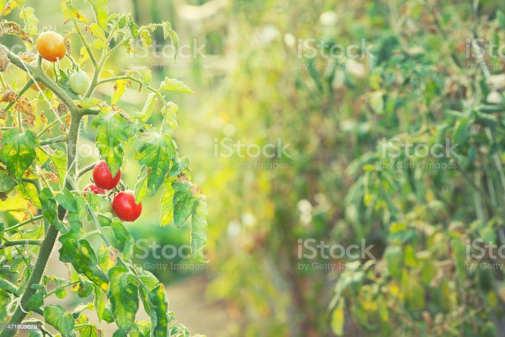 Tomatoes in Kitchen Garden royalty-free stock photo