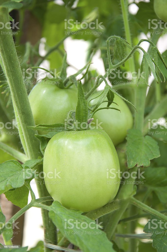 Tomatoes in the garden stock photo