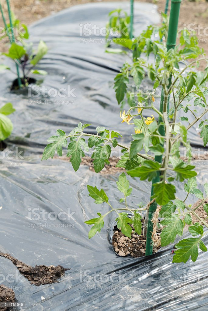 tomatoes in the home garden , japan stock photo