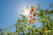 Tomatoes in the sunshine
