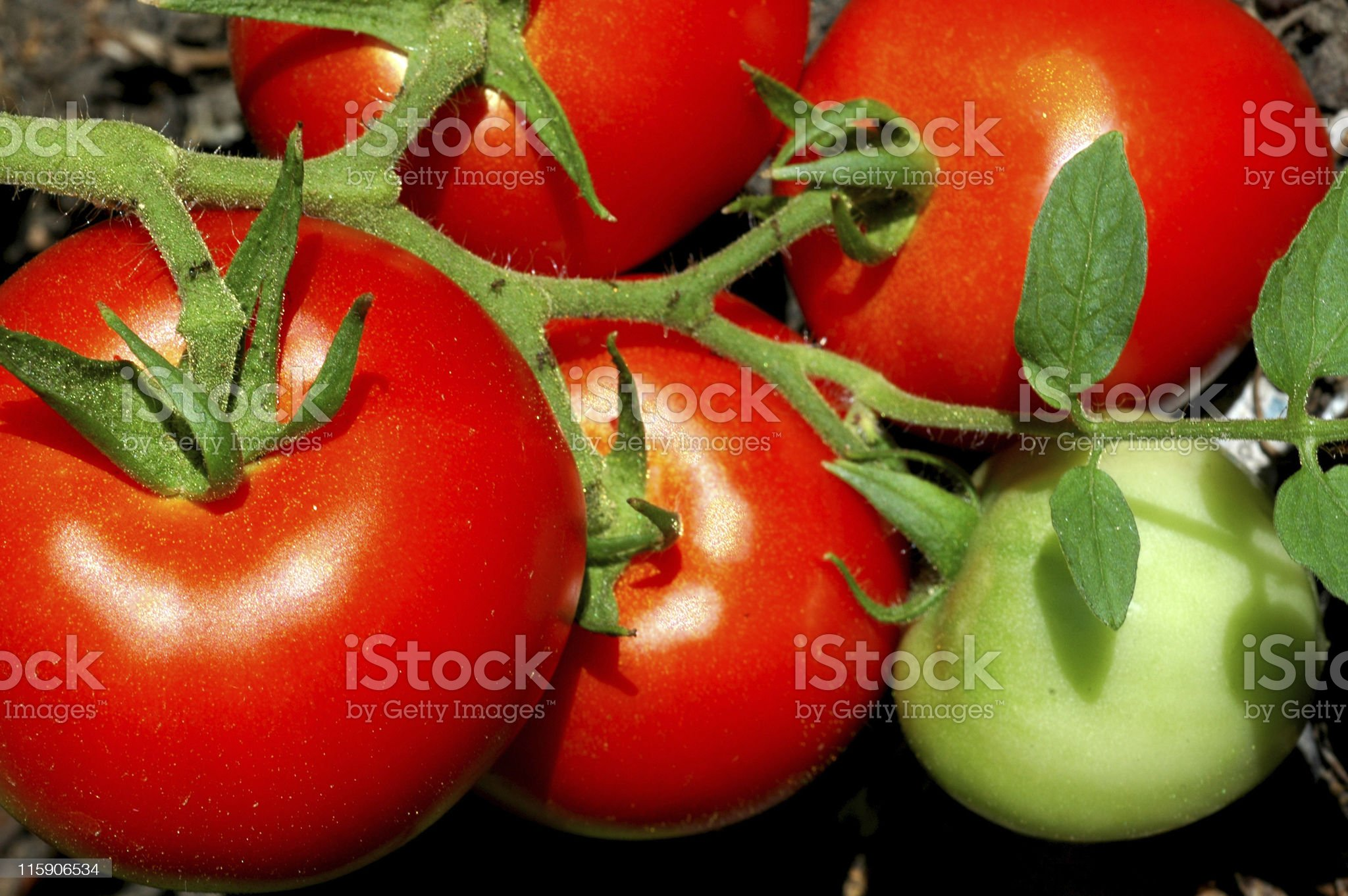 tomatoes, Lycopersicon esculentum, fruit on vine royalty-free stock photo