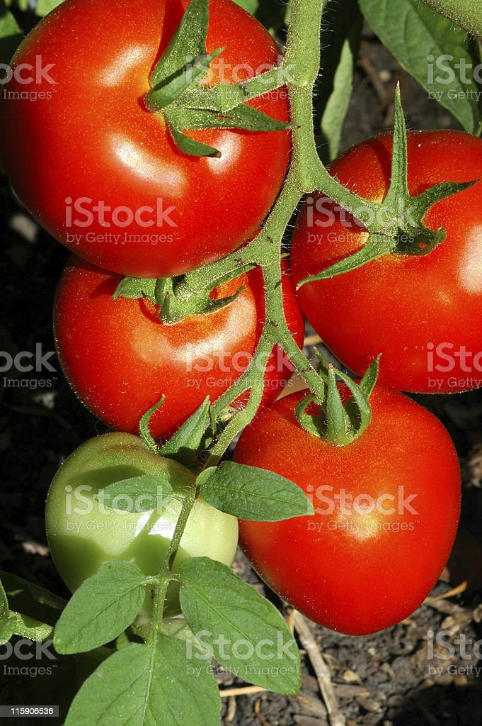 tomatoes, Lycopersicon esculentum, growing on vine royalty-free stock photo