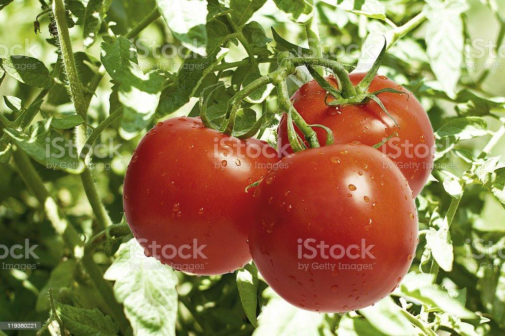 Tomatoes on Bush stock photo