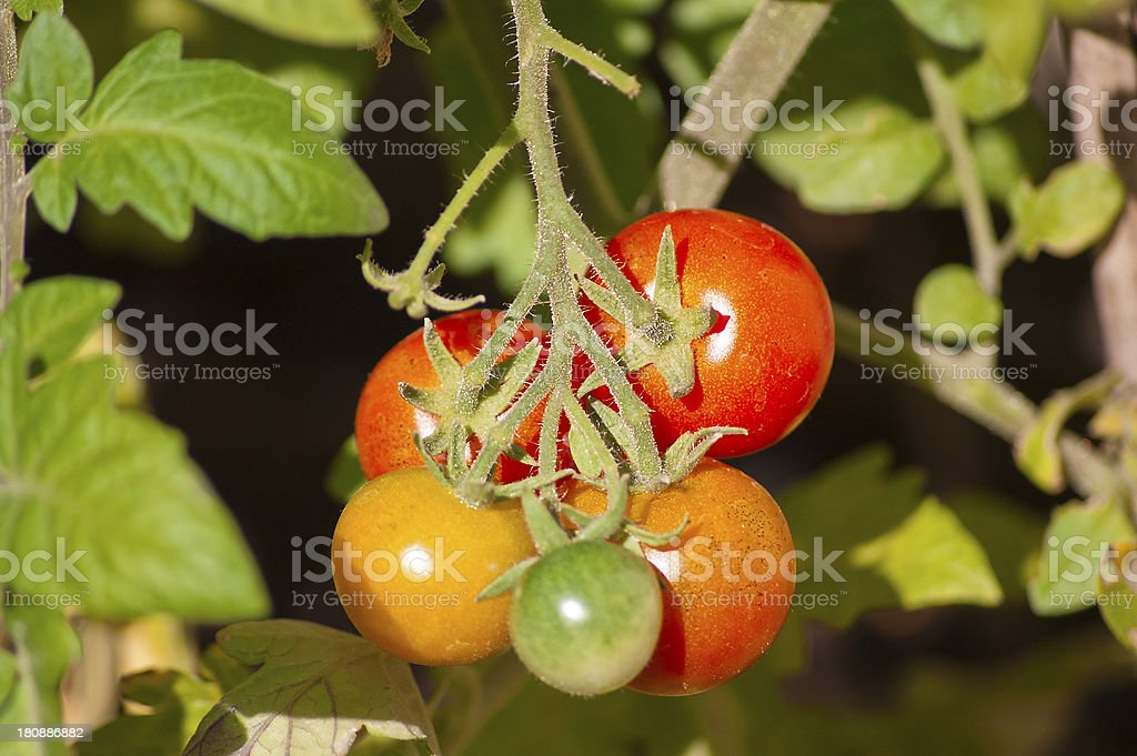 Tomatoes on bush royalty-free stock photo
