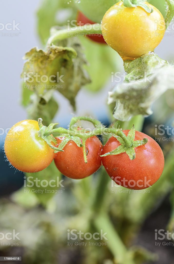 tomatoes on garden royalty-free stock photo