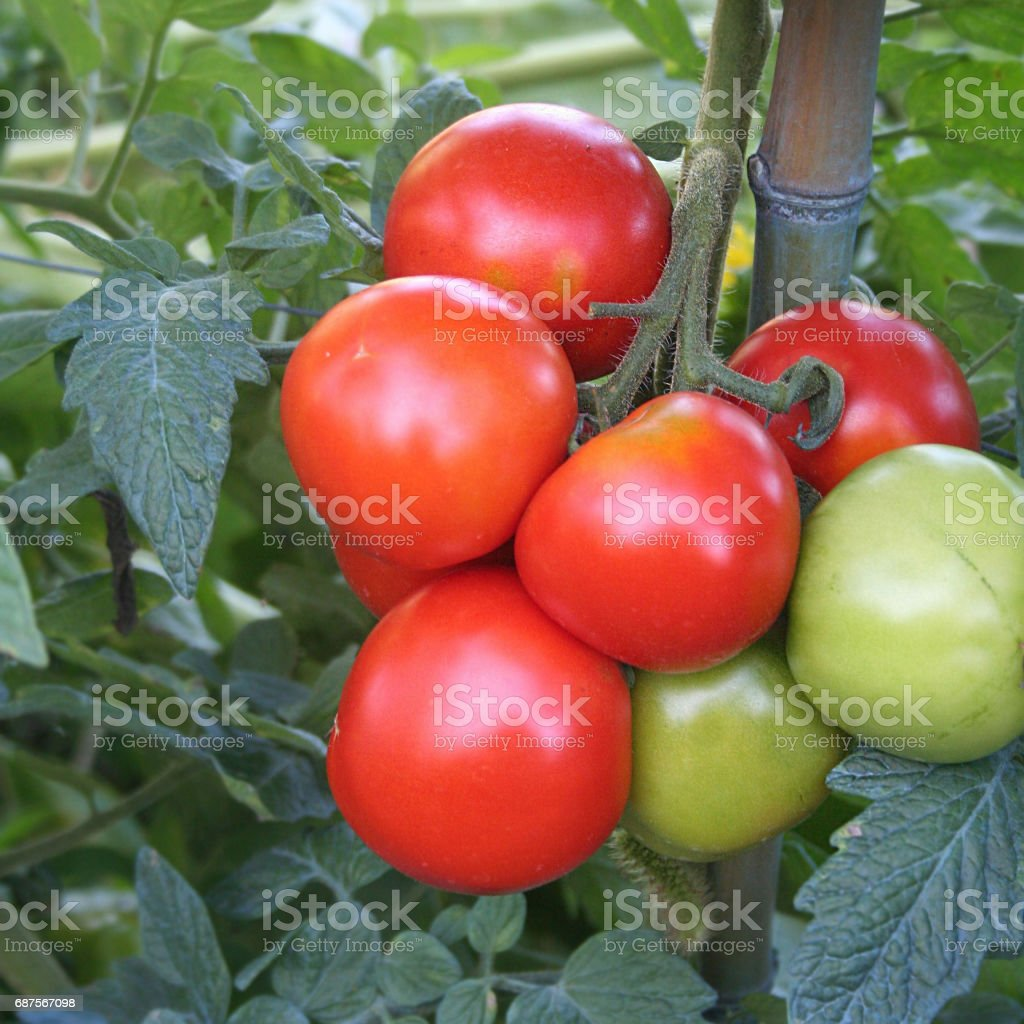 Tomatoes on plant in the vegetable garden stock photo