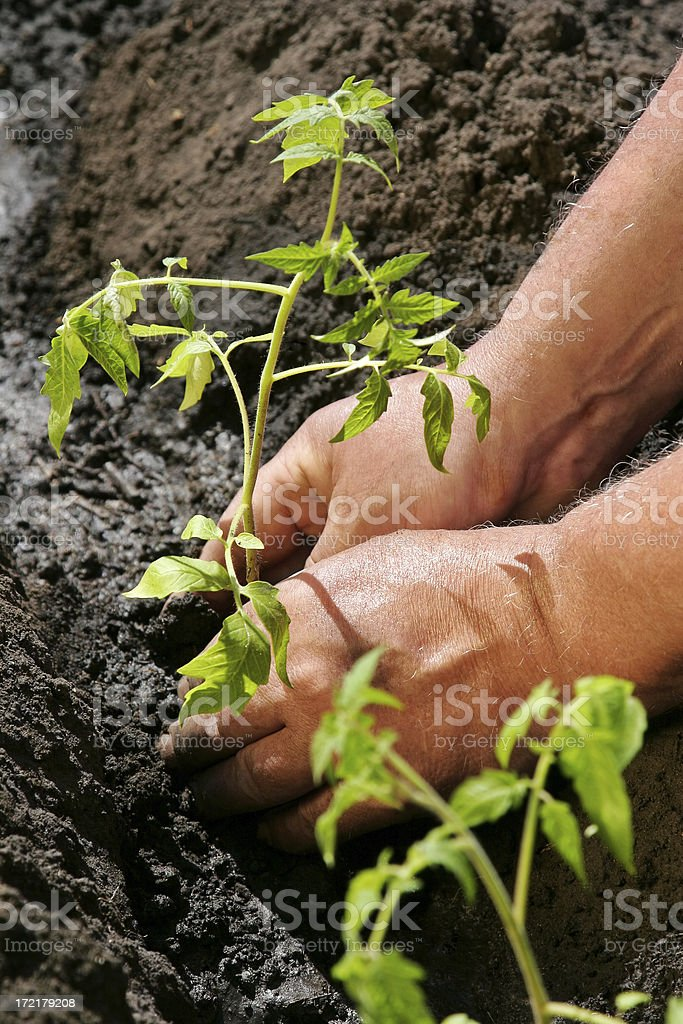 Tomatoes Planting #5 royalty-free stock photo