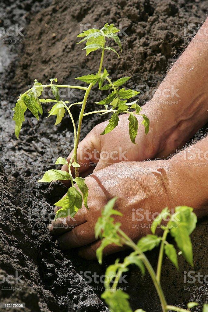 Tomatoes Planting #5 stock photo