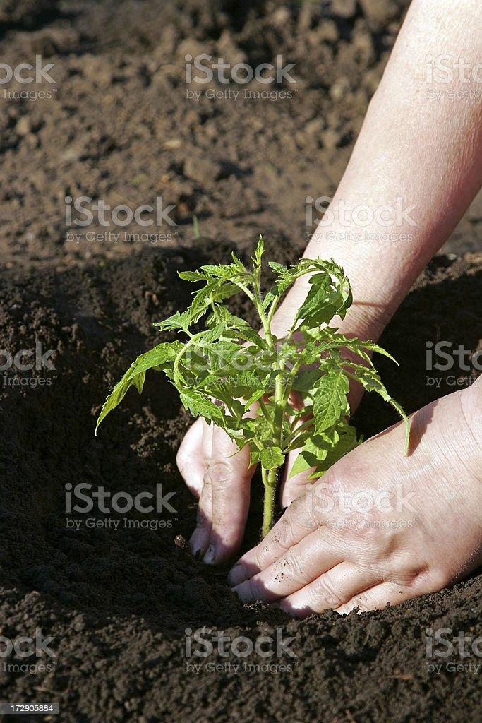 Tomatoes Planting stock photo