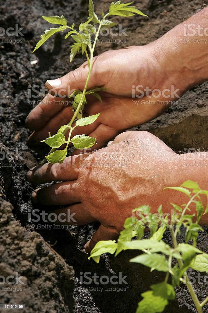 Tomatoes Planting royalty-free stock photo