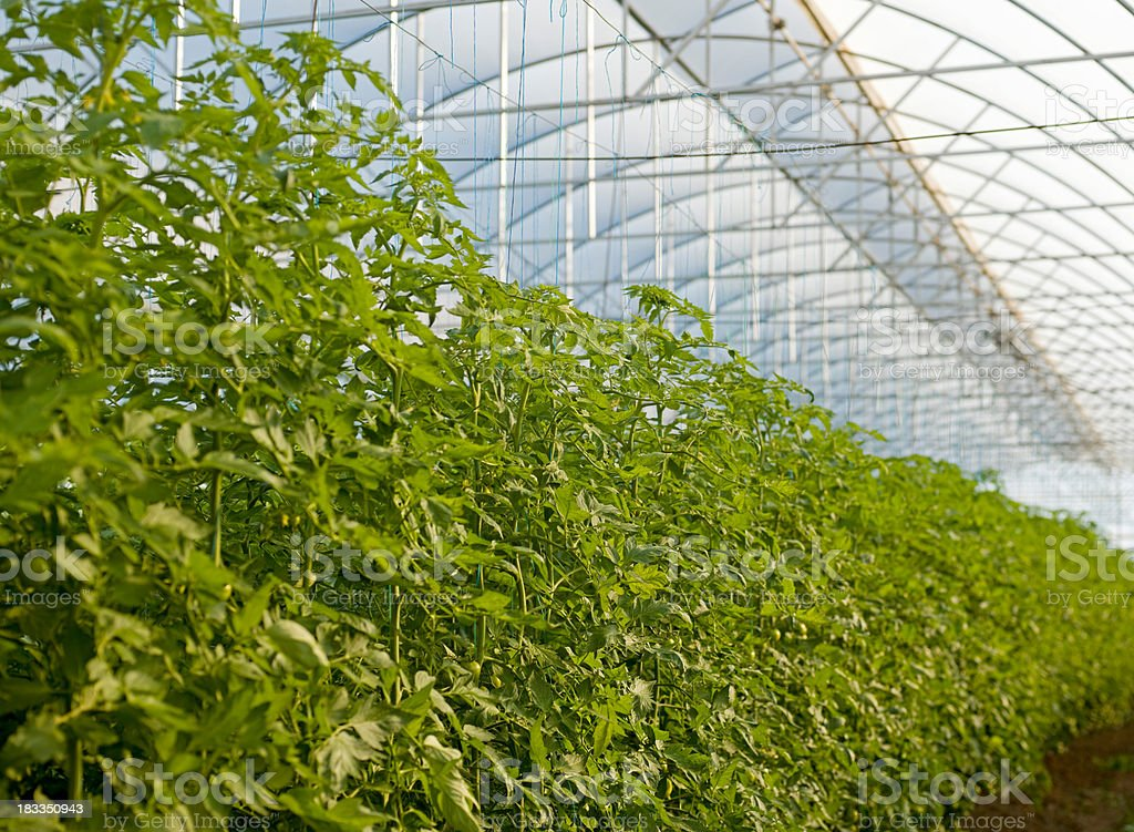 Tomatoes plants in greenhouse royalty-free stock photo