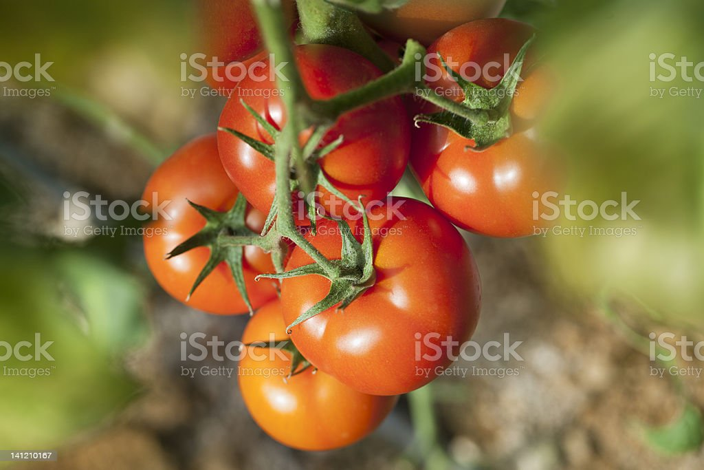 Tomatoes ripening in a greenhouse royalty-free stock photo