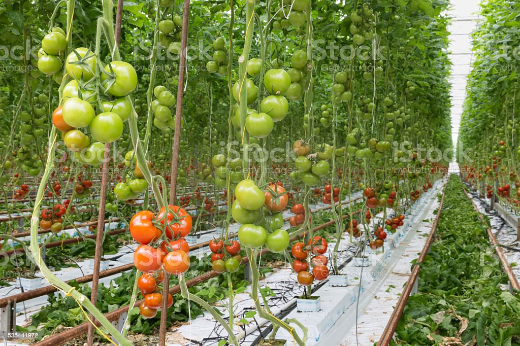 Tomatoes ripening in a greenhouse stock photo