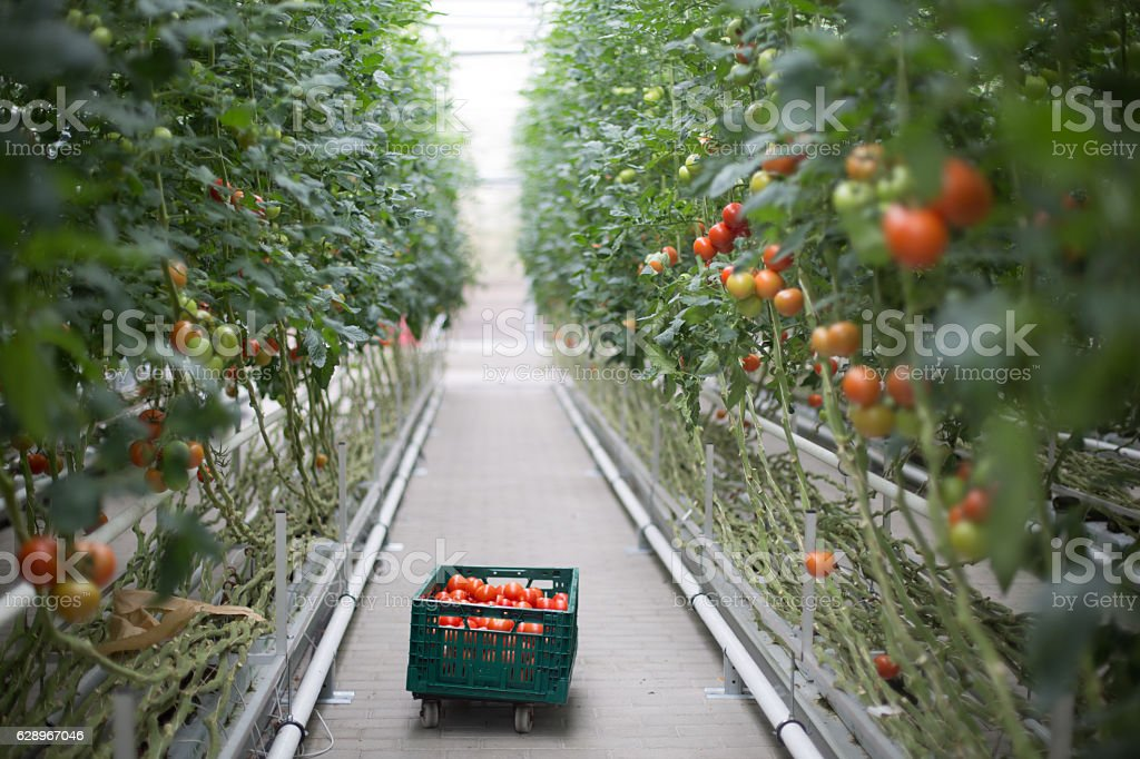Tomatoes ripening in greenhouse stock photo