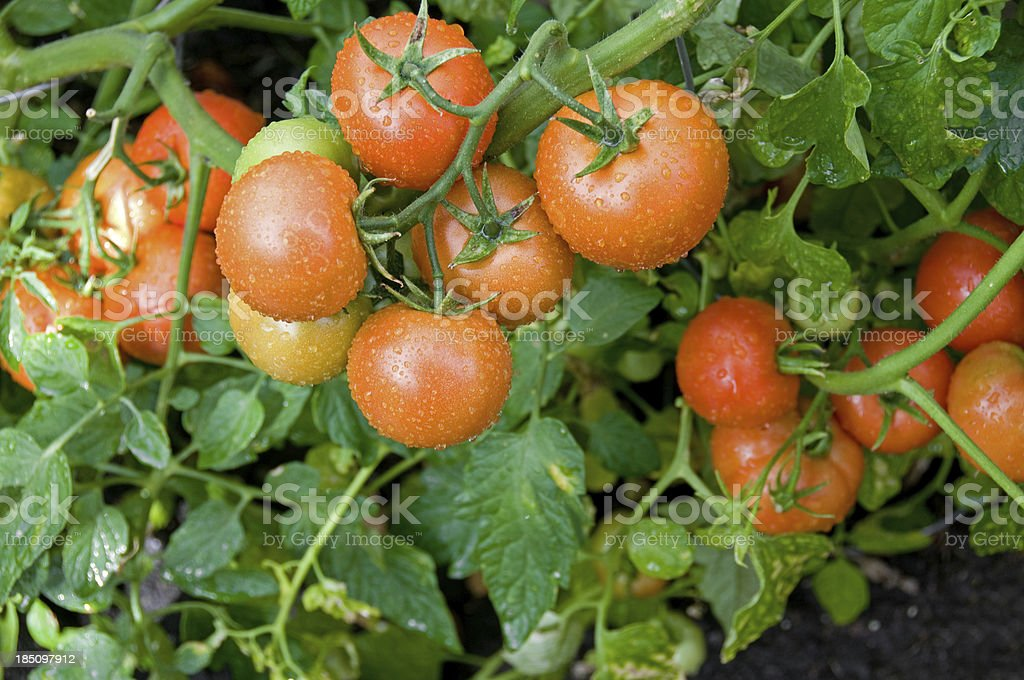Tomatoes ripening on the vine in garden royalty-free stock photo