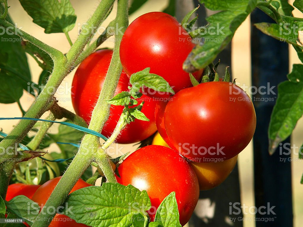 tomatos on the branch royalty-free stock photo