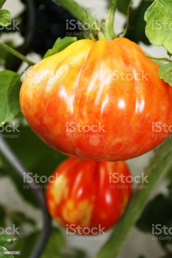 Tomatos oxheart hanging in sunny garden stock photo