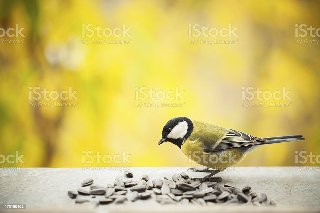 Tomtit eating sunflower seeds with copy space royalty-free stock photo