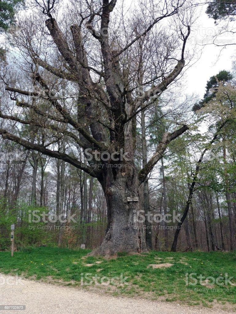 Toned image of 500 year old oak tree in Deutschland stock photo