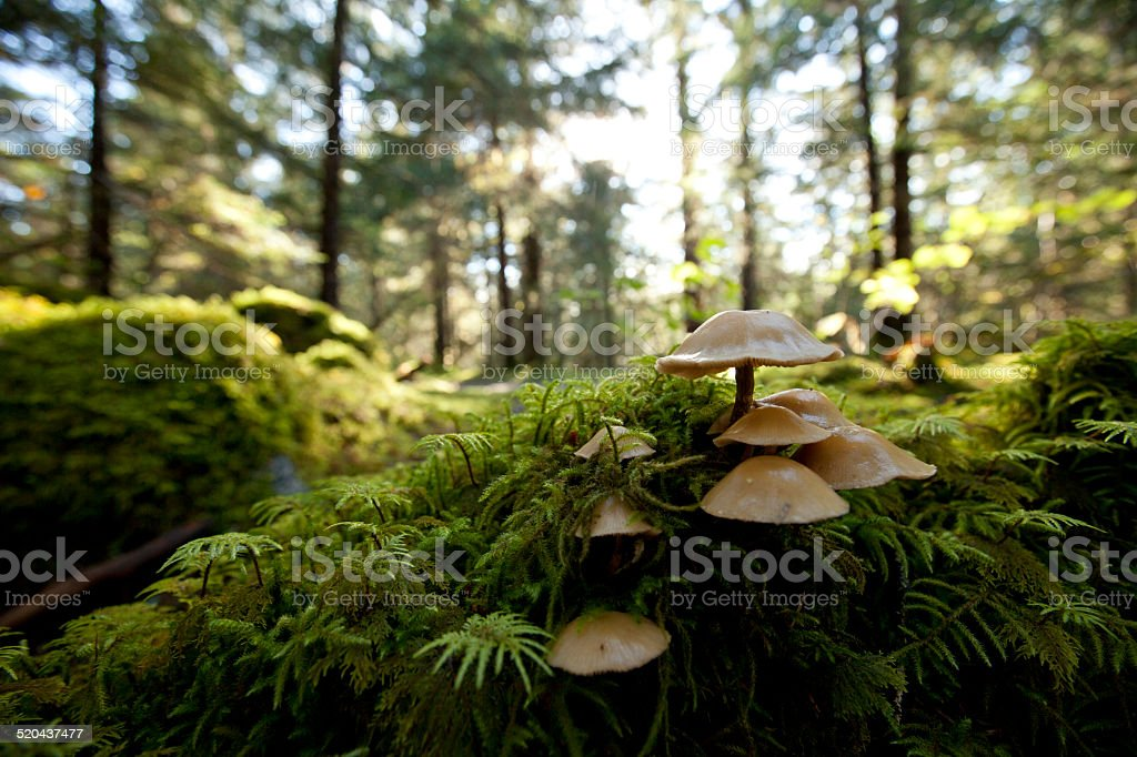 Tongass mushroom colony stock photo