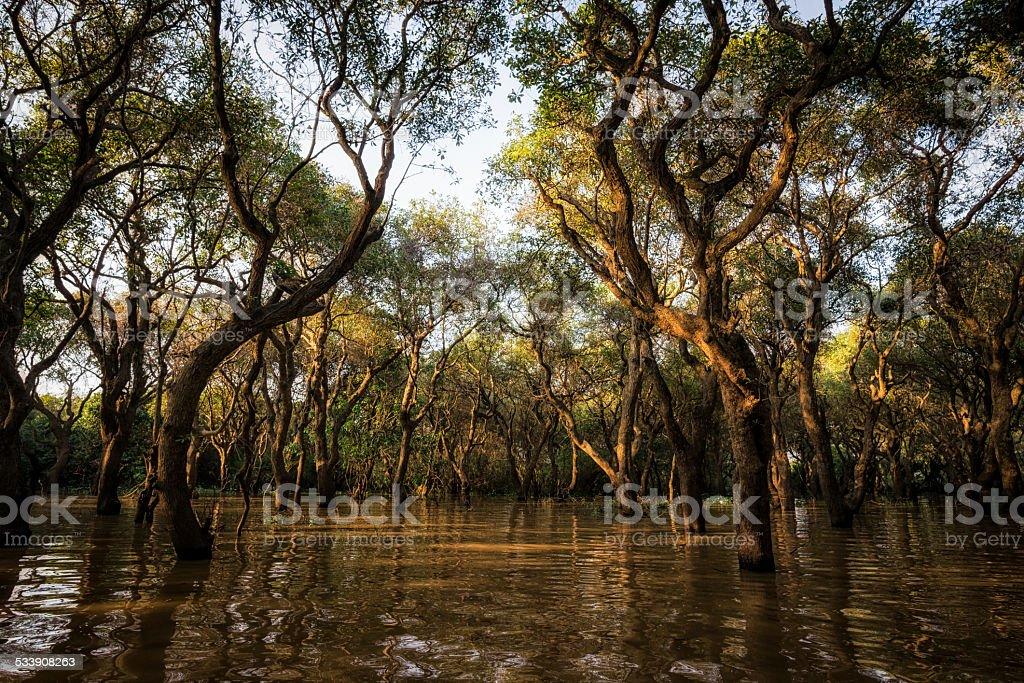 Tonle Sap Mangrove Forest stock photo