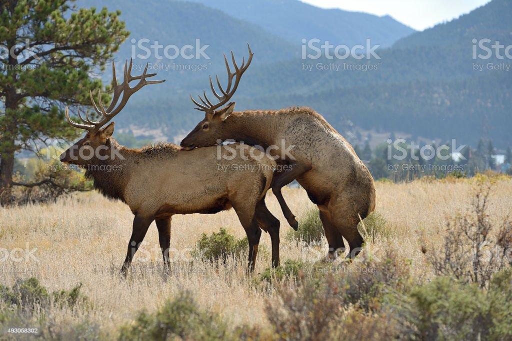 sex of reindeer
