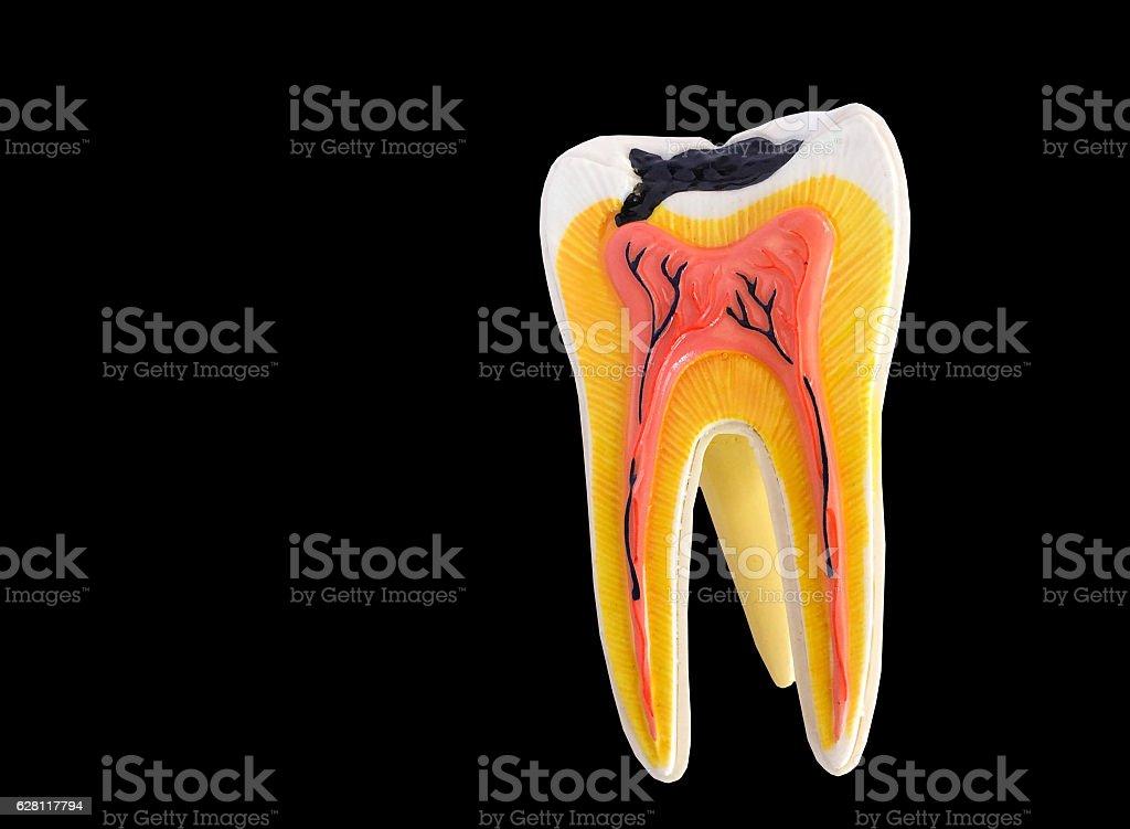 Tooth anatomy model stock photo