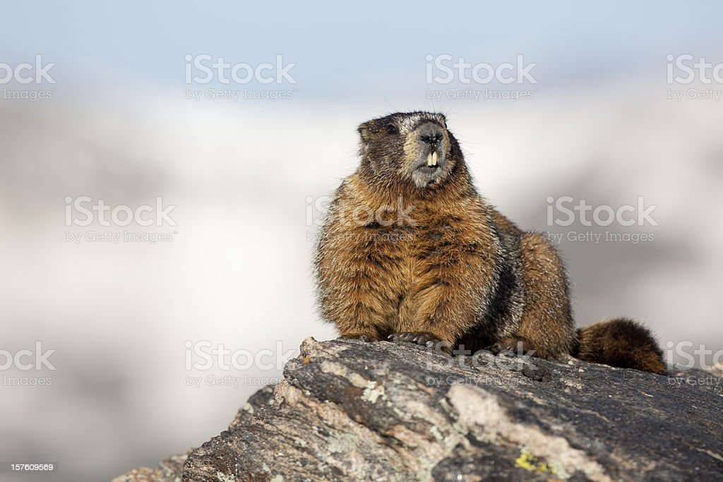 Toothy yellow-bellied marmot Rocky Mountain National Park stock photo