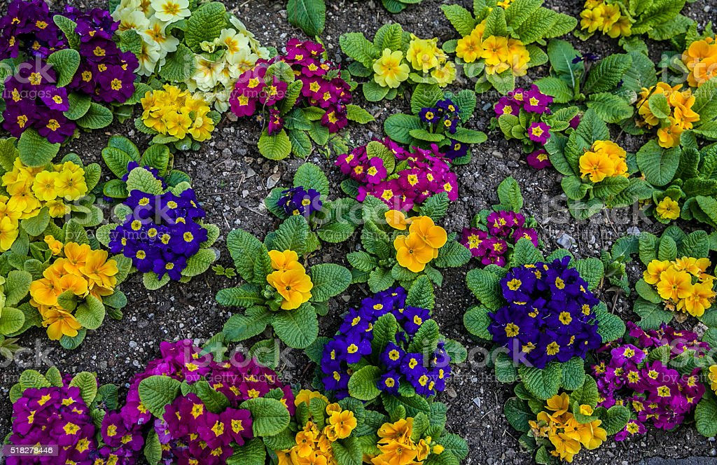 top angle violet flowers stock photo
