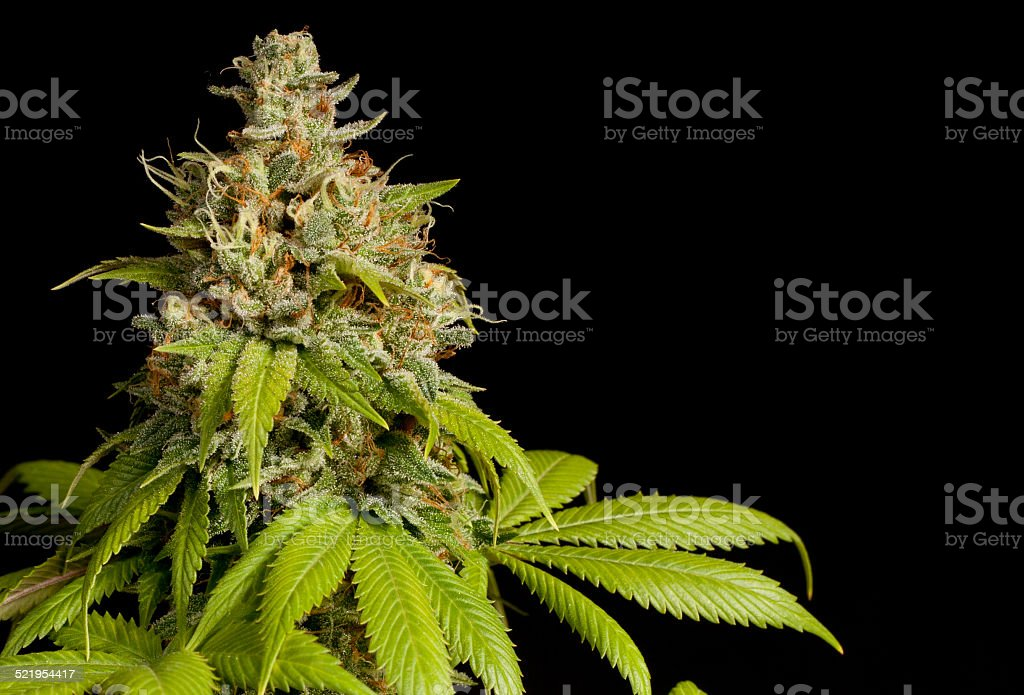 Top Bud of a Marijuana Plant stock photo