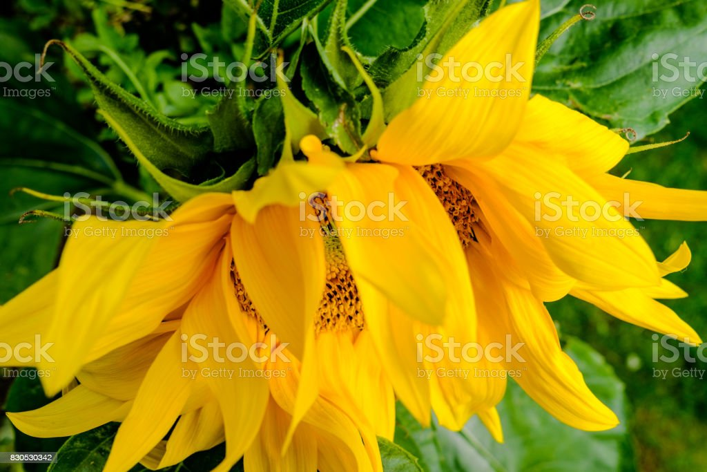Top down, shallow focus view of a Sunflower plant head. stock photo