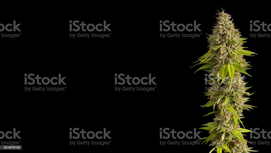Top Flowering Medical Marijuana Bud stock photo