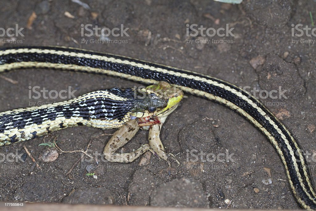 Top Macro of a Frog Being Devoured by Garter Snake royalty-free stock photo