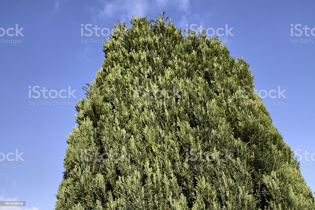 Canopy of evergreen Lawson cypress tree Chamaecyparis lawsoniana stock photo