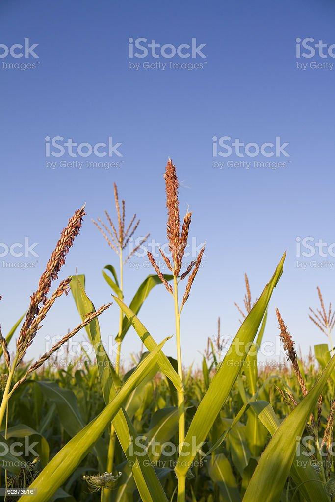 Top of corn stalks royalty-free stock photo