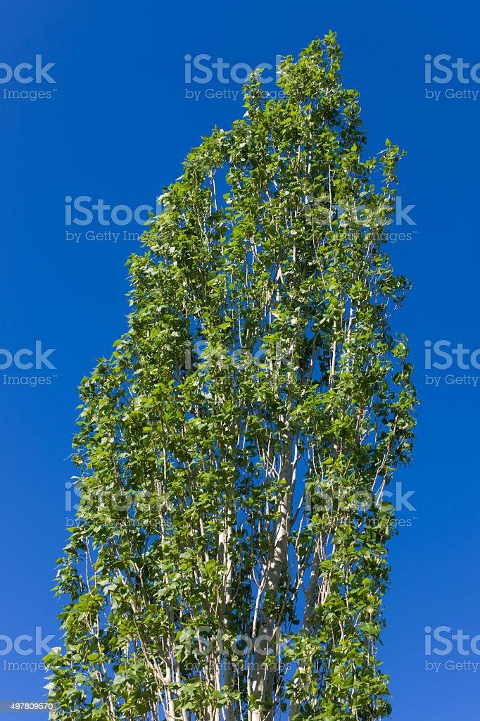 top of green spring poplar stock photo