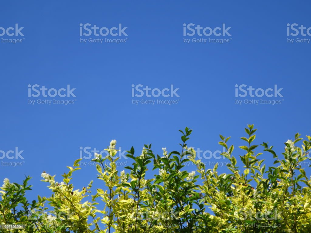 Top of hedge against clear blue sky. stock photo
