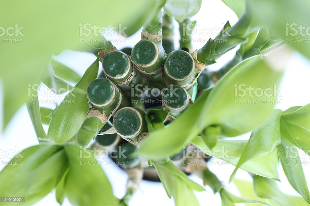 Top of Lucky Bamboo stock photo