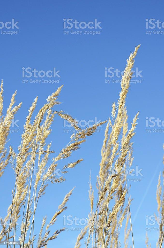 Top of prairie grass against clear blue sky stock photo