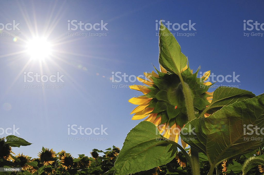 Top of sunflower wih blue sky against sun with sunstar stock photo