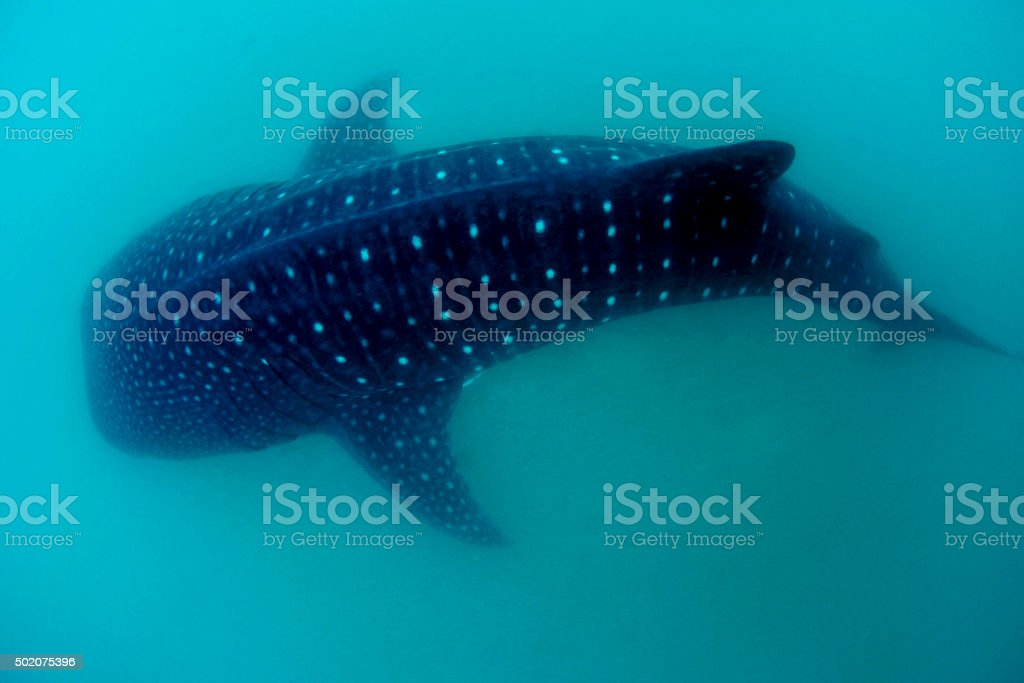 Top of the Whale Shark stock photo