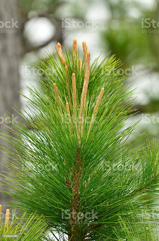 Top of  young pine tree, showing the new 'candlestick' growth stock photo