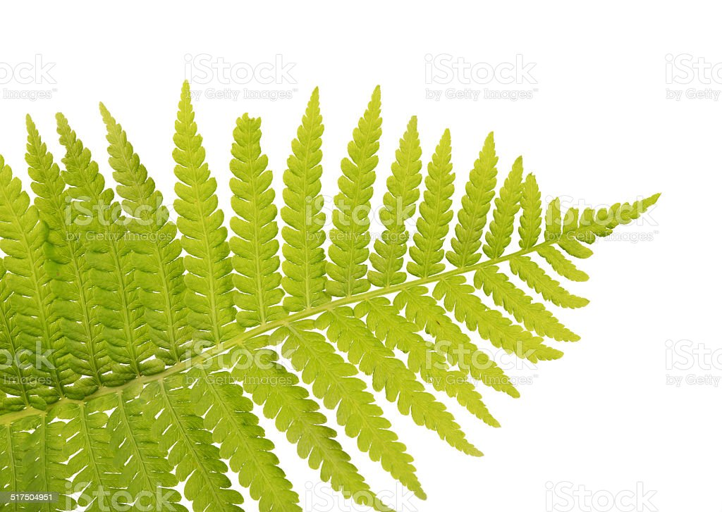 top part of light green fern frond stock photo