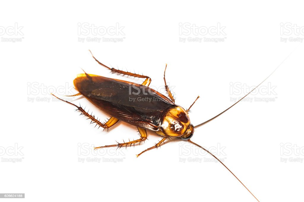 Top view a dead cockroach on white background stock photo